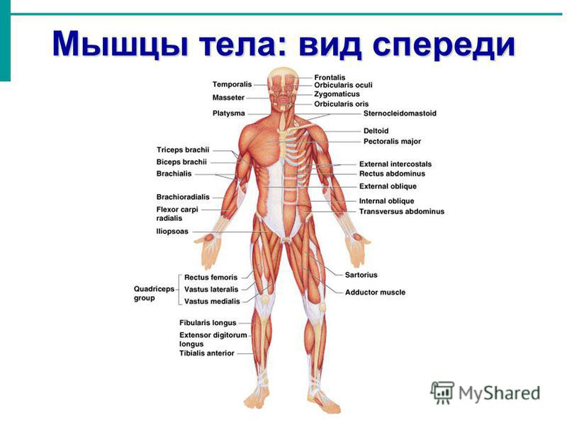 Мышцы тела: вид спереди