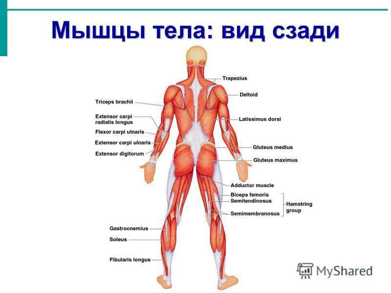 Мышцы тела: вид сзади