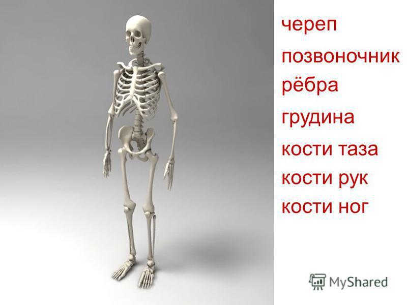 череп позвоночник рёбра грудина кости таза кости рук кости ног