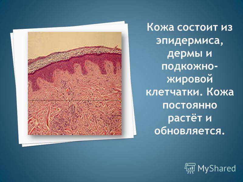 Кожа состоит из эпидермиса, дермы и подкожно- жировой клетчатки. Кожа постоянно растёт и обновляется.