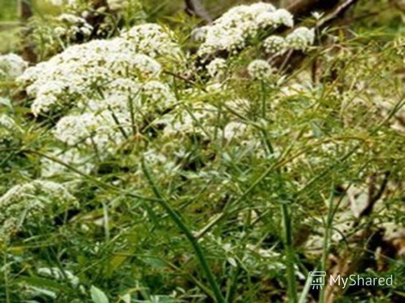 Я ДОВИТЫЕ РАСТЕНИЯ Растёт по топким берегам рек и озёр, это одно из самых ядовитых растений. Высокое растение, чаще выше метра, полый стебель и множество белых цветков, собранных в зонтики. Если яд этого растения попадёт в организм, то он действует н