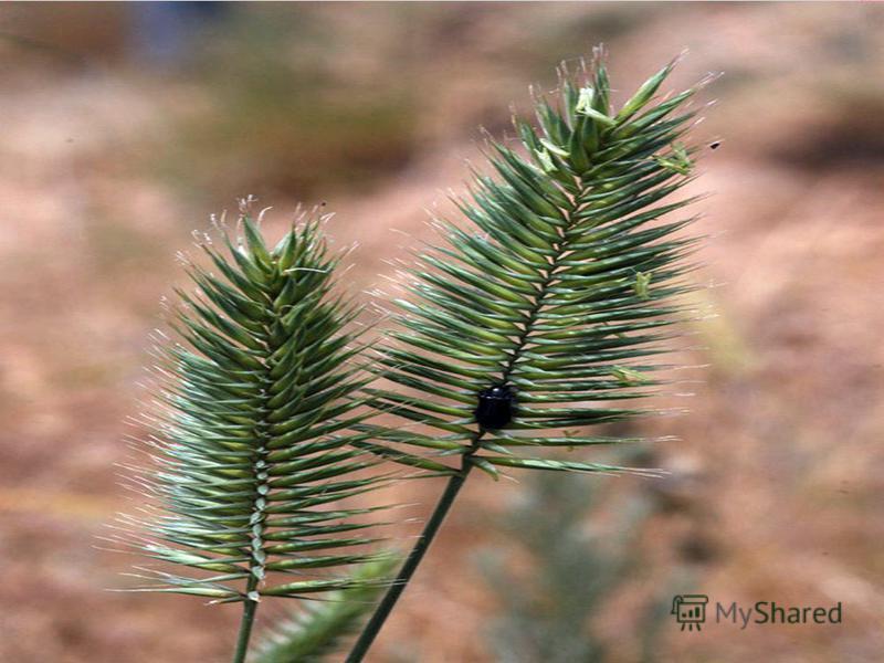 Одно из самых вредных сорных растений. Пырей. Его длинные корни разрастаются с необыкновенной быстротой. Он растёт повсюду, хорошо переносит палящий зной, трескучие морозы, засуху