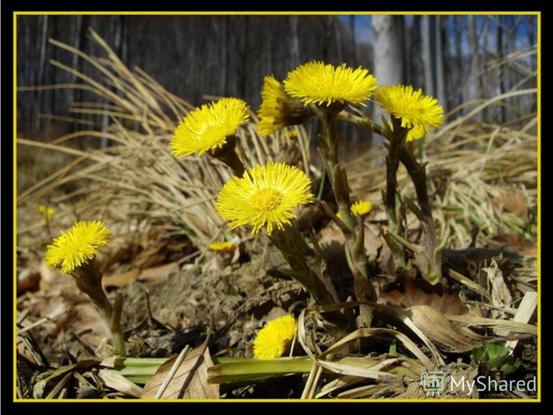Это растение – пионер. Первым после зимы заселяет голые пустующие пространства. Цветёт с к. марта до мая жёлтыми цветочками. Название этого растения переводится с латыни на русский как «прогоняющий кашель». Мать – и – мачеха.