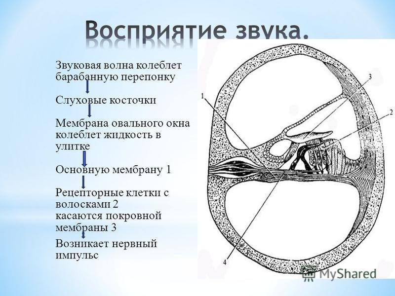 Звуковая волна колеблет барабанную перепонку Слуховые косточки Мембрана овального окна колеблет жидкость в улитке Основную мембрану 1 Рецепторные клетки с волосками 2 касаются покровной мембраны 3 Возникает нервный импульс