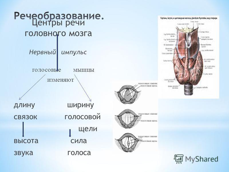 Центры речи головного мозга Нервный импульс голосовые мышцы изменяют длину ширину связок голосовой щели высота сила звука голоса