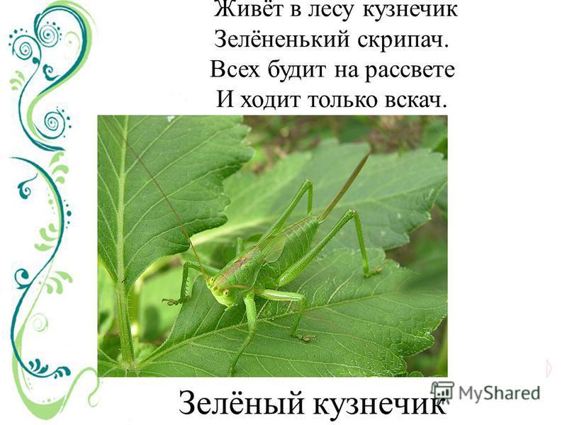 Живёт в лесу кузнечик Зелёненький скрипач. Всех будит на рассвете И ходит только вскачь. Зелёный кузнечик