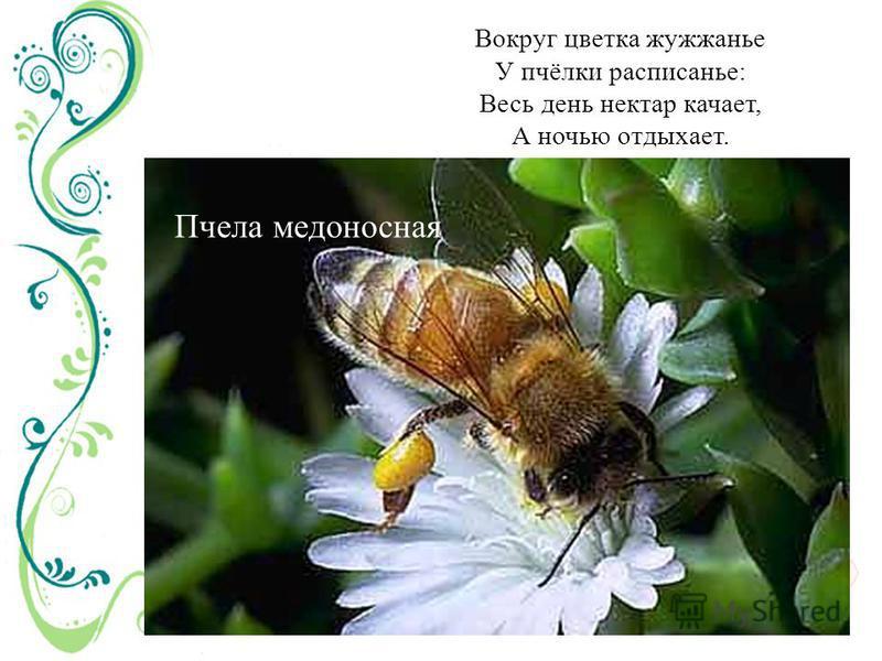 Вокруг цветка жужжанье У пчёлки расписанье: Весь день нектар качает, А ночью отдыхает. Пчела медоносная
