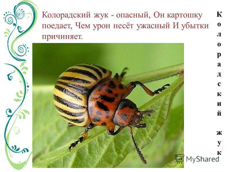 Колорадский жук - опасный, Он картошку поедает, Чем урон несёт ужасный И убытки причиняет.