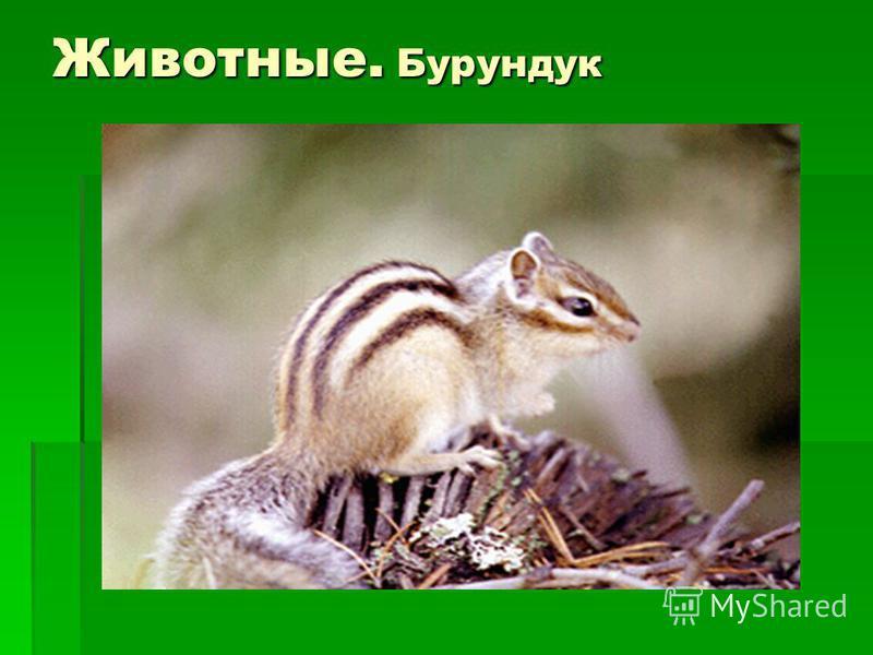 Животные. Бурундук