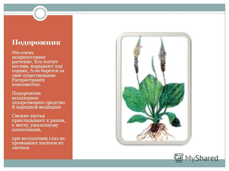 Подорожник Это очень неприхотливое растение. Его топчут ногами, вырывают как сорняк, А он борется за своё существование. Распространён повсеместно. Подорожник испытанное лекарственное средство. В народной медицине Свежие листья прикладывают к ранам,