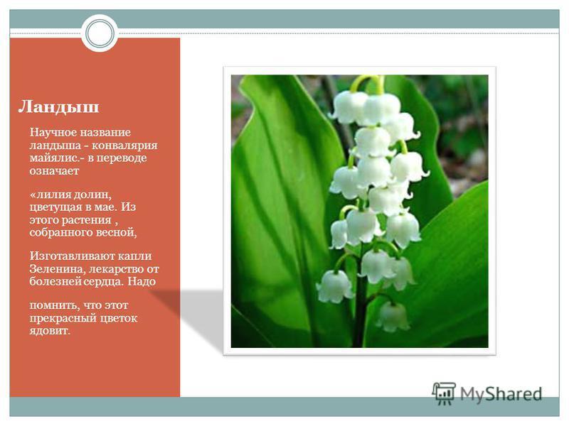 Ландыш Научное название ландыша - конвалярия майялис.- в переводе означает «лилия долин, цветущая в мае. Из этого растения, собранного весной, Изготавливают капли Зеленина, лекарство от болезней сердца. Надо помнить, что этот прекрасный цветок ядовит