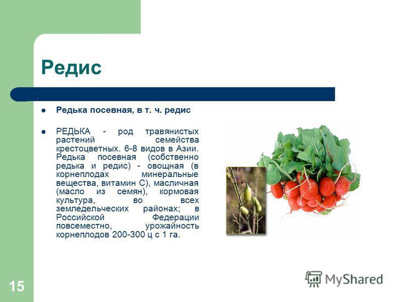 15 Редис Редька посевная, в т. ч. редис РЕДЬКА - род травянистых растений семейства крестоцветных. 6-8 видов в Азии. Редька посевная (собственно редька и редис) - овощная (в корнеплодах минеральные вещества, витамин С), масличная (масло из семян), ко