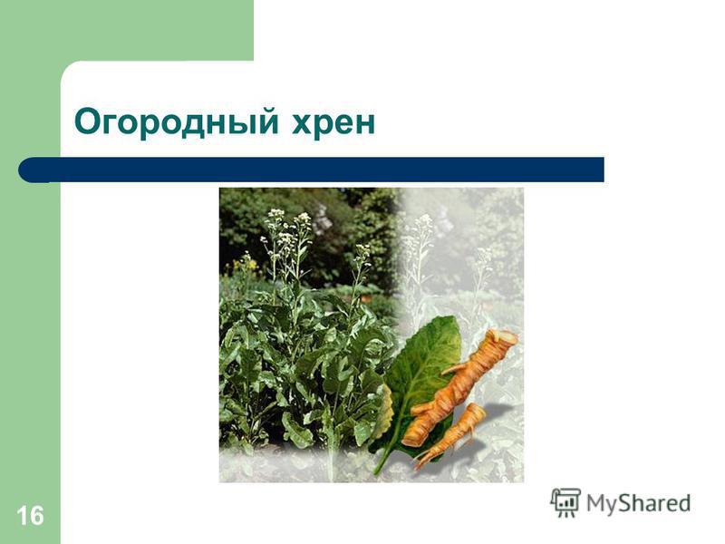 16 Огородный хрен
