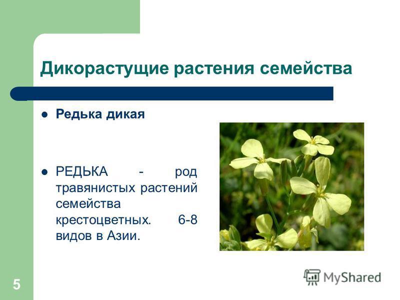 5 Дикорастущие растения семейства Редька дикая РЕДЬКА - род травянистых растений семейства крестоцветных. 6-8 видов в Азии.