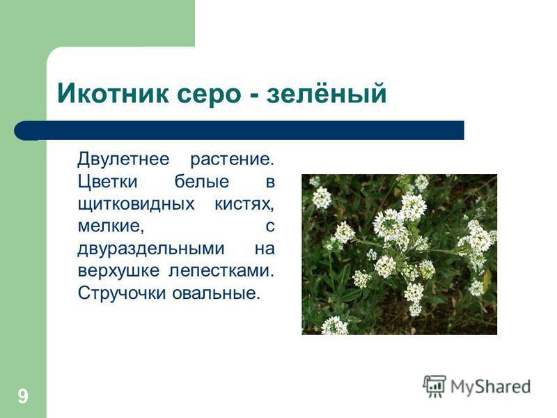 9 Икотник серо - зелёный Двулетнее растение. Цветки белые в щитковидных кистях, мелкие, с двухраздельными на верхушке лепестками. Стручочки овальные.
