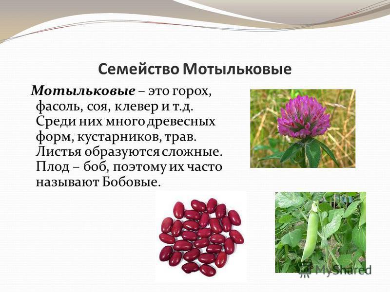 Семейство Мотыльковые Мотыльковые – это горох, фасоль, соя, клевер и т.д. Среди них много древесных форм, кустарников, трав. Листья образуются сложные. Плод – боб, поэтому их часто называют Бобовые.