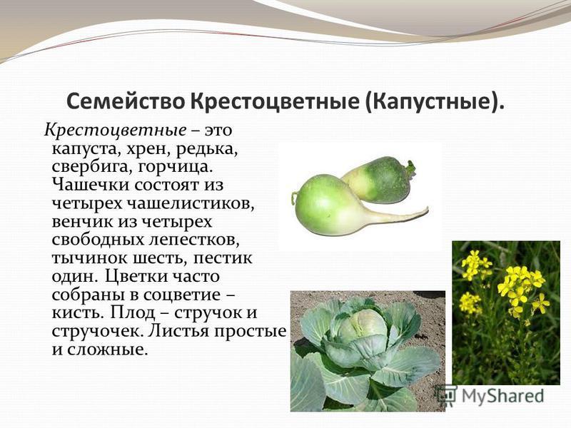 Семейство Крестоцветные (Капустные). Крестоцветные – это капуста, хрен, редька, свербига, горчица. Чашечки состоят из четырех чашелистиков, венчик из четырех свободных лепестков, тычинок шесть, пестик один. Цветки часто собраны в соцветие – кисть. Пл