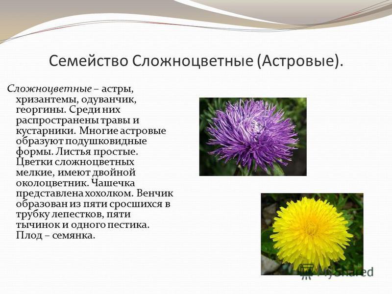 Семейство Сложноцветные (Астровые). Сложноцветные – астры, хризантемы, одуванчик, георгины. Среди них распространены травы и кустарники. Многие астровые образуют подушковидные формы. Листья простые. Цветки сложноцветных мелкие, имеют двойной околоцве