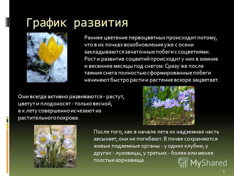 График развития Раннее цветение первоцветных происходит потому, что в их почках возобновления уже с осени закладываются зачаточные побеги с соцветиями. Рост и развитие соцветий происходит у них в зимние и весенние месяцы под снегом. Сразу же после та