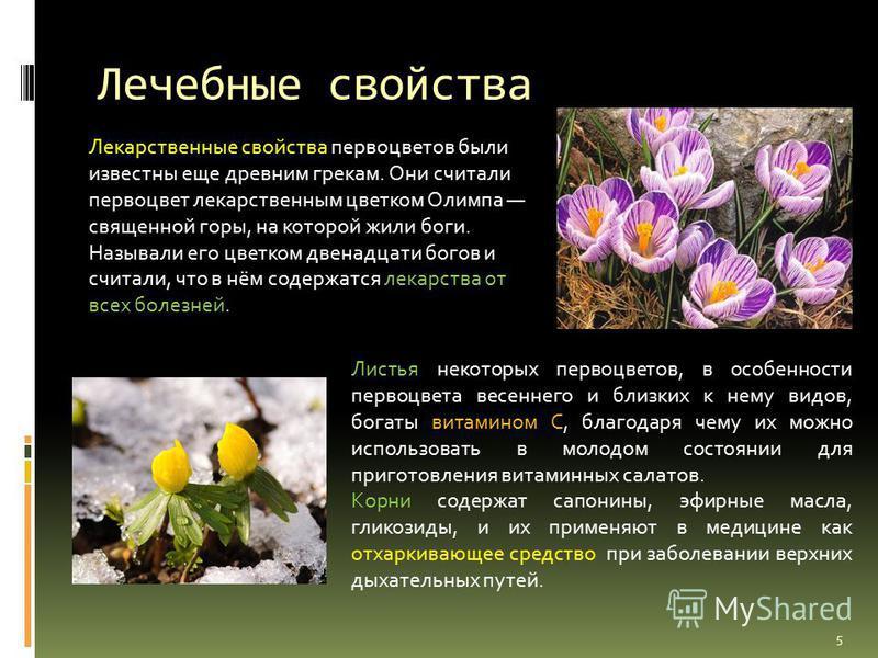 Лечебные свойства Лекарственные свойства первоцветов были известны еще древним грекам. Они считали первоцвет лекарственным цветком Олимпа священной горы, на которой жили боги. Называли его цветком двенадцати богов и считали, что в нём содержатся лека