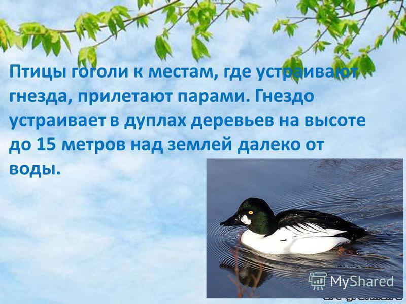Птицы гоголи к местам, где устраивают гнезда, прилетают парами. Гнездо устраивает в дуплах деревьев на высоте до 15 метров над землей далеко от воды.