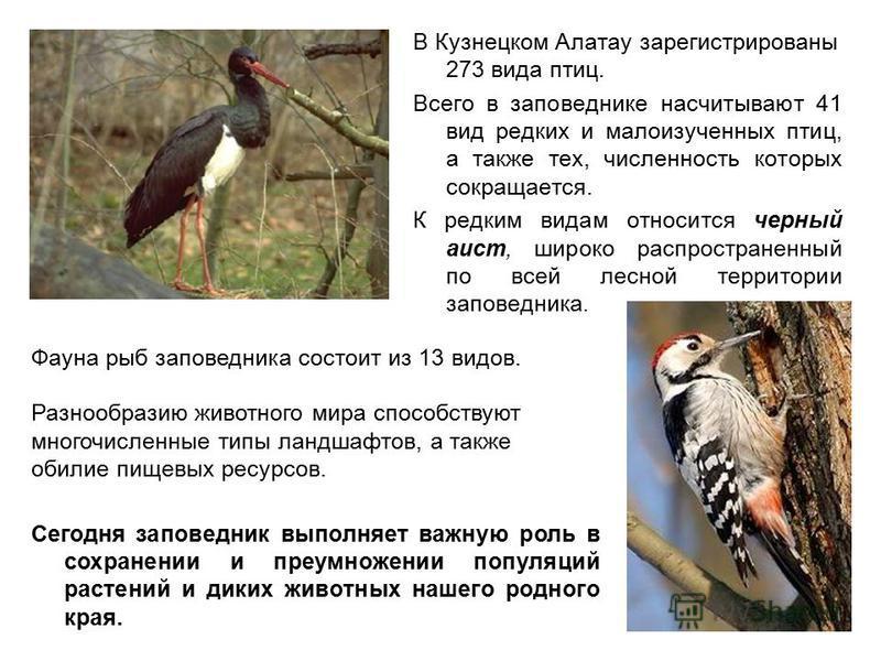 В Кузнецком Алатау зарегистрированы 273 вида птиц. Всего в заповеднике насчитывают 41 вид редких и малоизученных птиц, а также тех, численность которых сокращается. К редким видам относится черный аист, широко распространенный по всей лесной территор