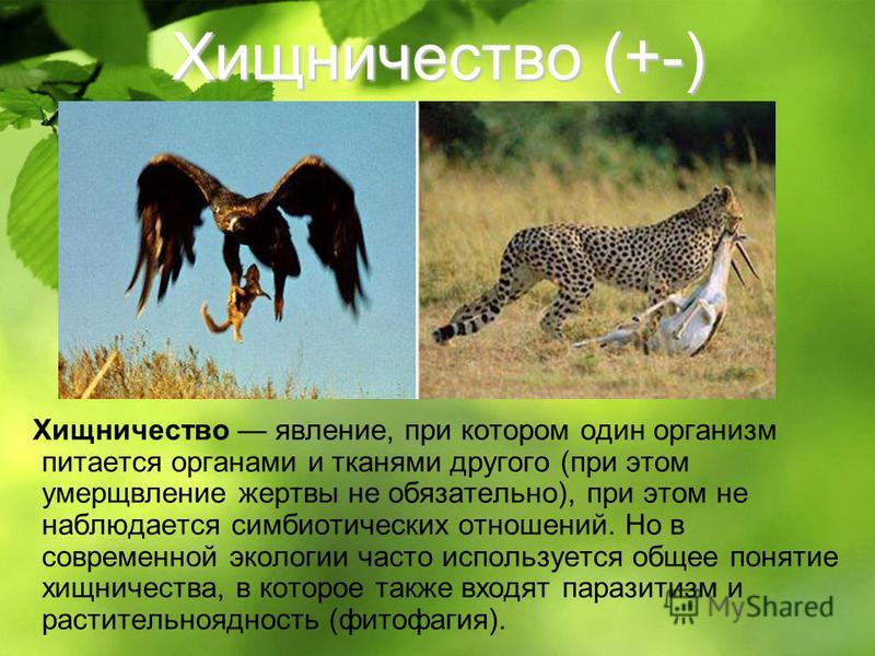 Хищничество (+-) Хищничество явление, при котором один организм питается органами и тканями другого (при этом умерщвление жертвы не обязательно), при этом не наблюдается симбиотических отношений. Но в современной экологии часто используется общее пон