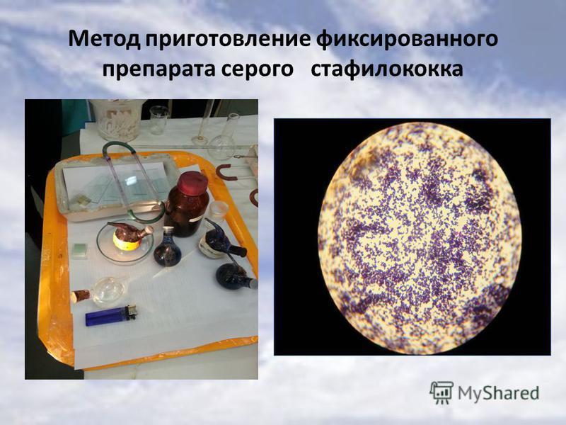 Метод приготовление фиксированного препарата серого стафилококка