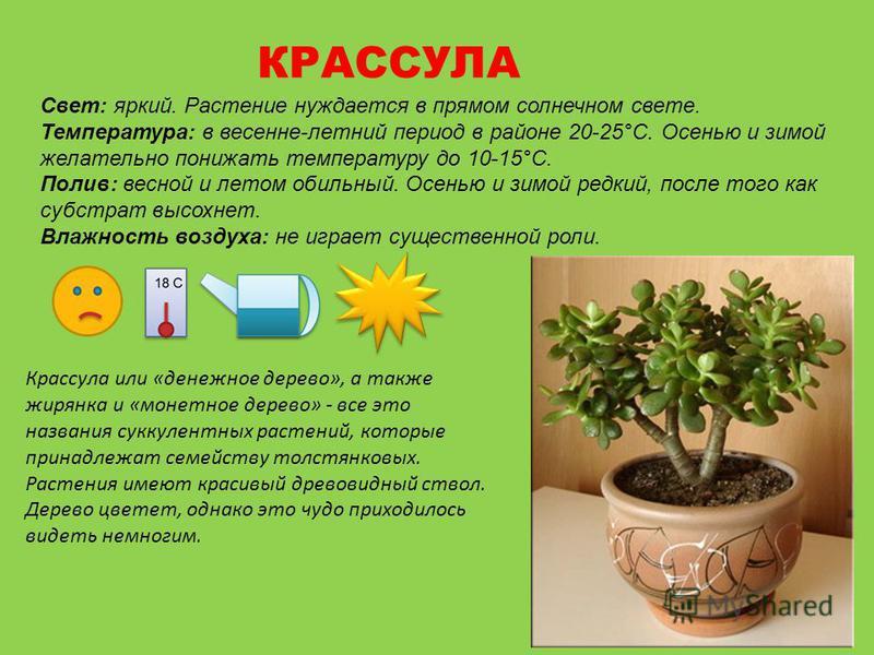 КРАССУЛА Свет: яркий. Растение нуждается в прямом солнечном свете. Температура: в весенне-летний период в районе 20-25°С. Осенью и зимой желательно понижать температуру до 10-15°С. Полив: весной и летом обильный. Осенью и зимой редкий, после того как