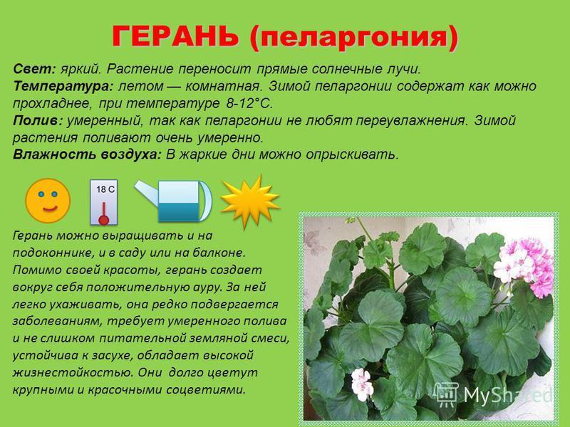 ГЕРАНЬ (пеларгония) Свет: яркий. Растение переносит прямые солнечные лучи. Температура: летом комнатная. Зимой пеларгонии содержат как можно прохладнее, при температуре 8-12°С. Полив: умеренный, так как пеларгонии не любят переувлажнения. Зимой расте