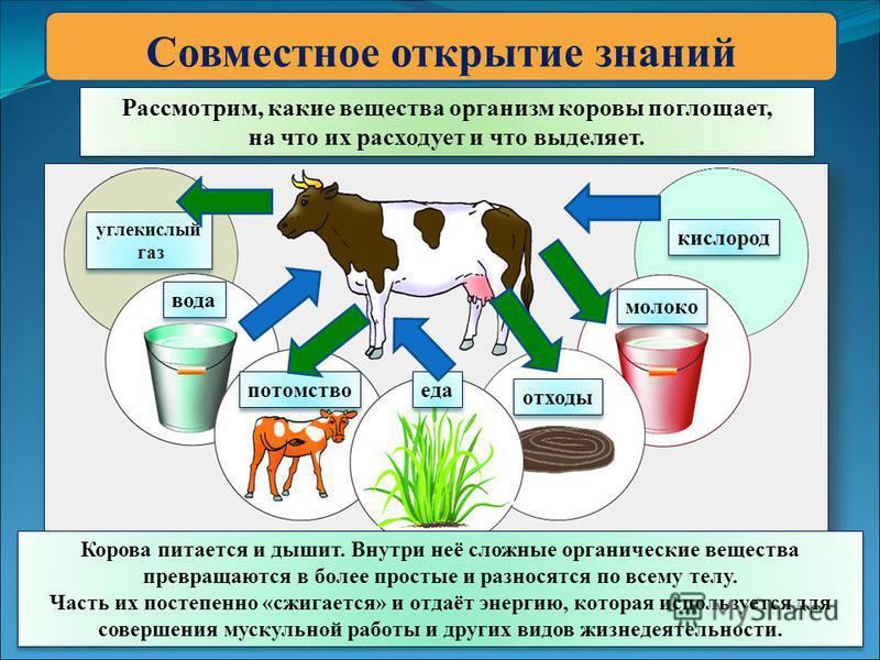 Совместное открытие знаний Рассмотрим, какие вещества организм коровы поглощает, на что их расходует и что выделяет. Рассмотрим, какие вещества организм коровы поглощает, на что их расходует и что выделяет. углекислый газ углекислый газ кислород отхо