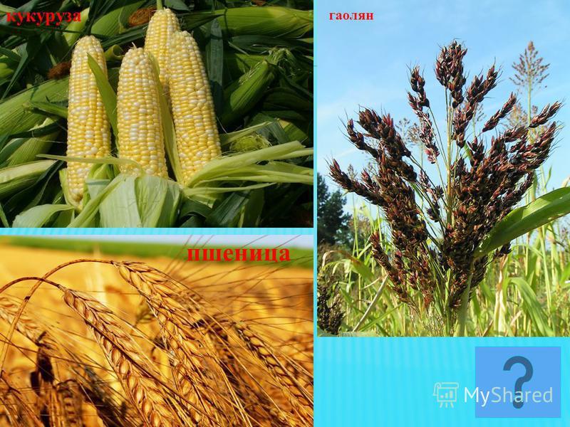 пшеница гаолян кукуруза