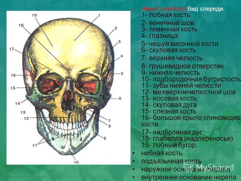 Череп (cranium).Вид спереди. 1- лобная кость 2- венечный шов 3- теменная кость 4- глазница 5- чешуя височной кости 6- скуловая кость 7- верхняя челюсть 8- грушевидное отверстие 9- нижняя челюсть 10- подбородочная бугристость 11- зубы нижней челюсти 1
