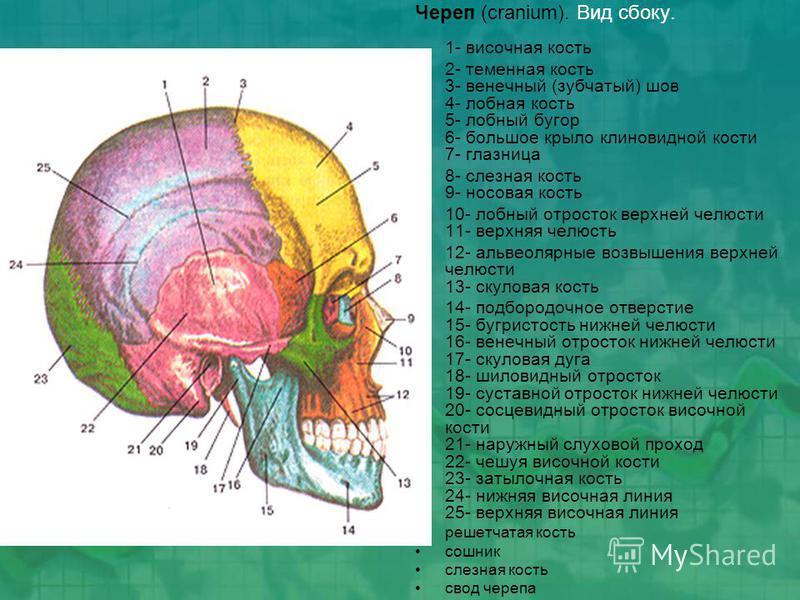 Череп (cranium). Вид сбоку. 1- височная кость 2- теменная кость 3- венечный (зубчатый) шов 4- лобная кость 5- лобный бугор 6- большое крыло клиновидной кости 7- глазница 8- слезная кость 9- носовая кость 10- лобный отросток верхней челюсти 11- верхня