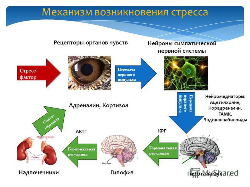 5 Механизм возникновения стресса Стресс- фактор Рецепторы органов чувств Передача нервного импульса Нейроны симпатической нервной системы Передача нервного импульса Нейромедиаторы: Ацетилхолин, Норадреналин, ГАМК, Эндоканнабиноиды Гипоталамус Гормона