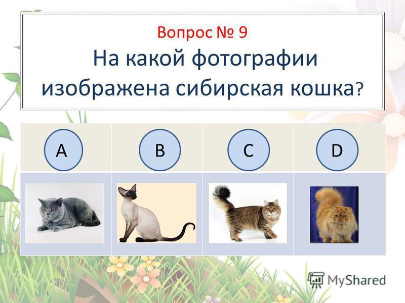 Вопрос 9 На какой фотографии изображена сибирская кошка ? АBC BCD