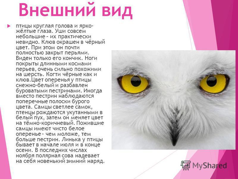 Внешний вид птицы круглая голова и ярко- жёлтые глаза. Уши совсем небольшие – их практически невидно. Клюв окрашен в чёрный цвет. При этом он почти полностью закрыт перьями. Виден только его кончик. Ноги покрыты длинными космами перьев, очень сильно