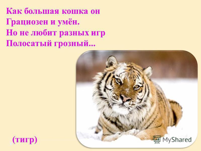 Как большая кошка он Грациозен и умён. Но не любит разных игр Полосатый грозный... (тигр)