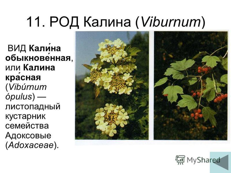 11. РОД Калина (Viburnum) ВИД Кали́на обыкнове́нная, или Калина кра́сная (Vibúrnum ópulus) листопадный кустарник семейства Адоксовые (Adoxaceae).