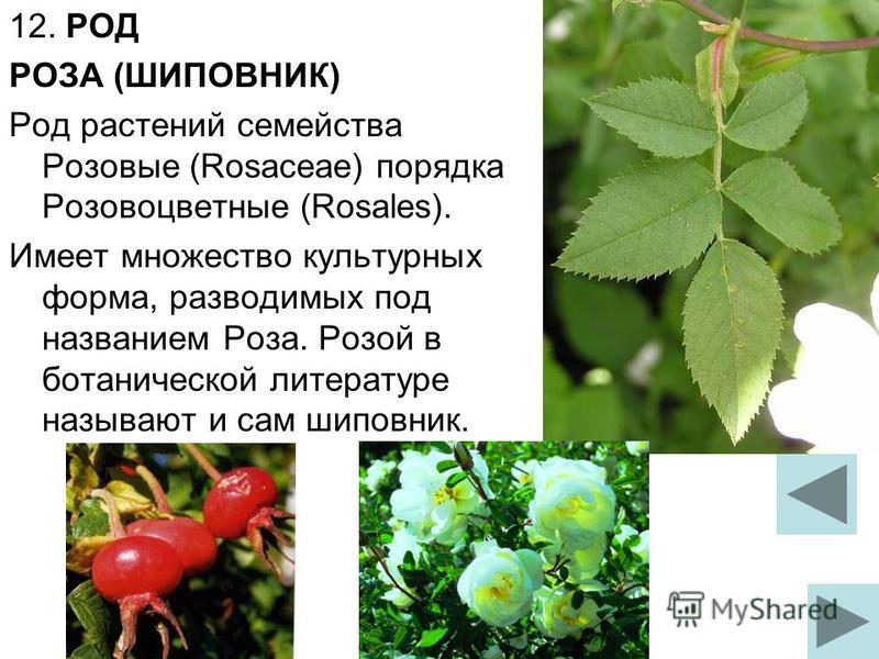 12. РОД РОЗА (ШИПОВНИК) Род растений семейства Розовые (Rosaceae) порядка Розовоцветные (Rosales). Имеет множество культурных форма, разводимых под названием Роза. Розой в ботанической литературе называют и сам шиповник.