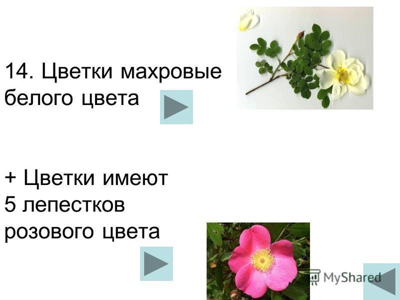 14. Цветки махровые белого цвета + Цветки имеют 5 лепестков розового цвета