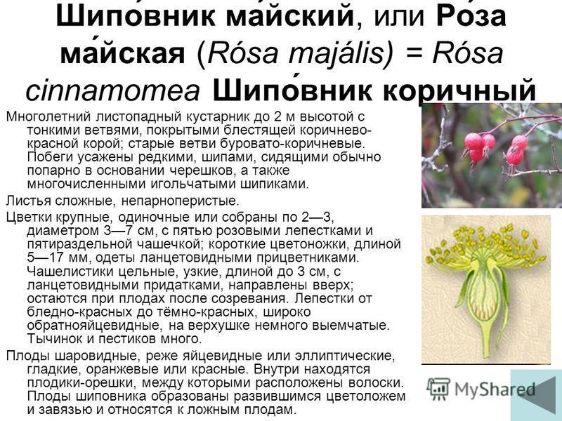 Шипо́вник ма́ейский, или Ро́за ма́йская (Rósa majális) = Rósa cinnamomea Шипо́вник коричный Многолетний листопадный кустарник до 2 м высотой с тонкими ветвями, покрытыми блестящей коричнево- красной корой; старые ветви буровато-коричневые. Побеги уса
