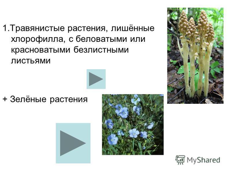 1. Травянистые растения, лишённые хлорофилла, с беловатыми или красноватыми безлистными листьями + Зелёные растения