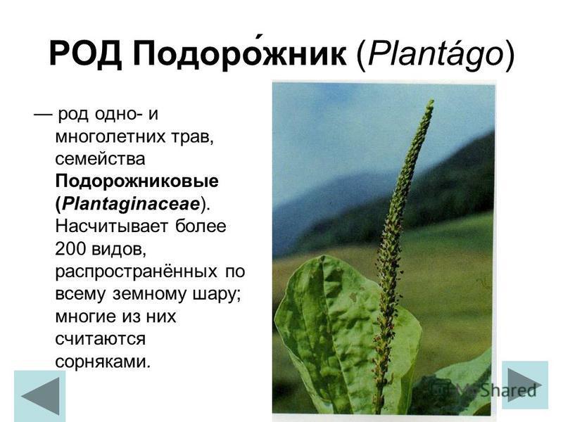 РОД Подоро́жник (Plantágo) род одно- и многолетних трав, семейства Подорожниковые (Plantaginaceae). Насчитывает более 200 видов, распространённых по всему земному шару; многие из них считаются сорняками.