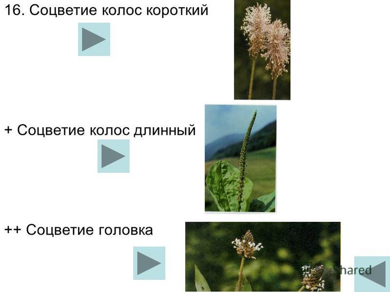 16. Соцветие колос короткий + Соцветие колос длинный ++ Соцветие головка