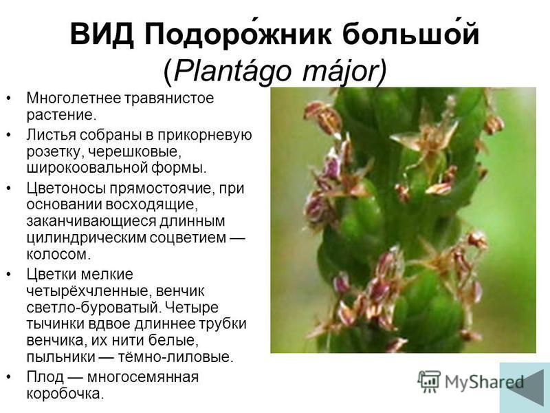 ВИД Подоро́жник больше́й (Plantágo májor) Многолетнее травянистое растение. Листья собраны в прикорневую розетку, черешковые, широкоовальной формы. Цветоносы прямостоячие, при основании восходящие, заканчивающиеся длинным цилиндрическим соцветием кол