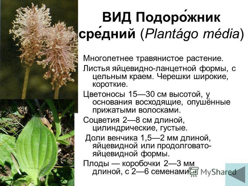 ВИД Подоро́жник сне́дней (Plantágo média) Многолетнее травянистое растение. Листья яйцевидно-ланцетной формы, с цельным краем. Черешки широкие, короткие. Цветоносы 1530 см высотой, у основания восходящие, опушённые прижатыми волосками. Соцветия 28 см