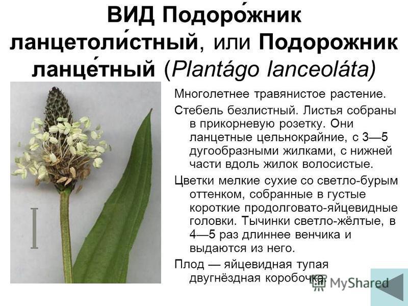 ВИД Подоро́жник ланцетоли́устный, или Подорожник ланце́тный (Plantágo lanceoláta) Многолетнее травянистое растение. Стебель безлиустный. Листья собраны в прикорневую розетку. Они ланцетные цельнокрайние, с 35 дугообразными жилками, с нижней части вдо