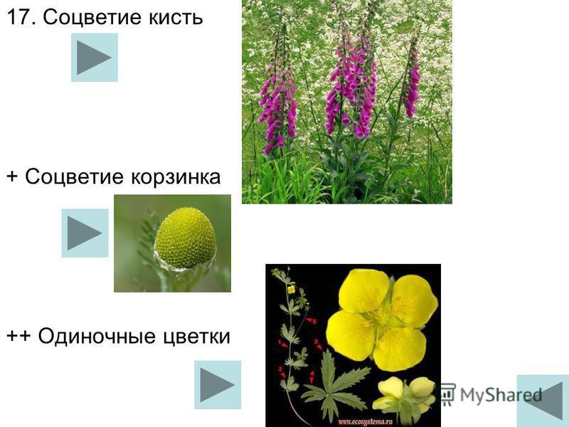 17. Соцветие кисть + Соцветие корзиника ++ Одиночные цветки