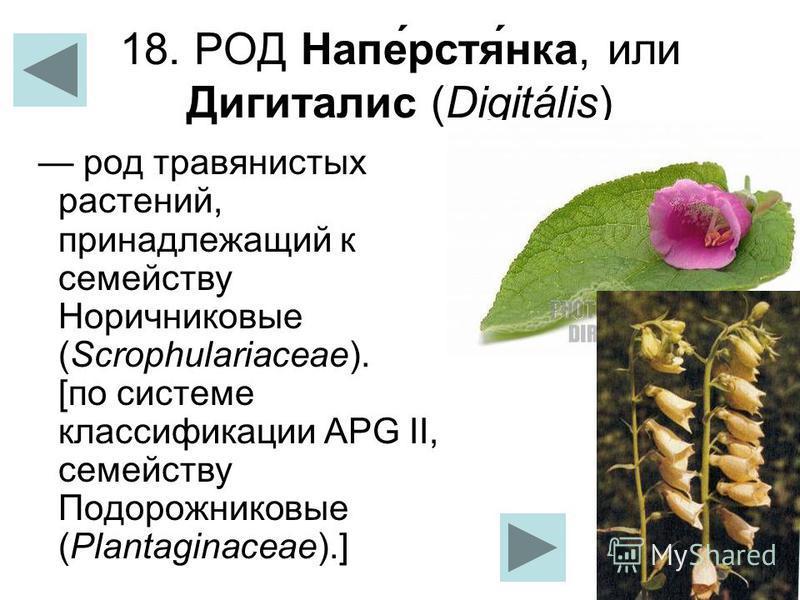 18. РОД Напе́рстя́ника, или Дигиталис (Digitális) род травянистых растений, принадлежащий к семейству Норичниковые (Scrophulariaceae). [по системе классификации APG II, семейству Подорожниковые (Plantaginaceae).]
